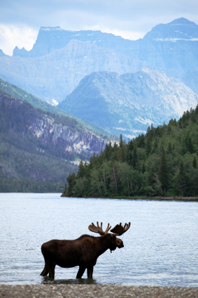 Moose in Canadian Rockies